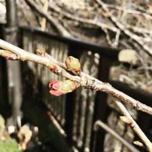 目黒川の桜のつぼみ