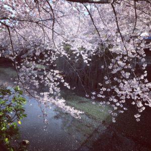 目黒川船着場の桜