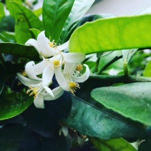 黄金柑の花